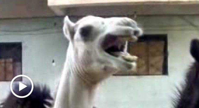 Yes, Camels Are Ticklish Too