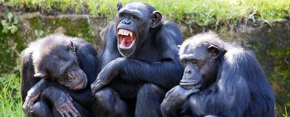humans and chimps essay Most scientists believe that primates and humans all share a recent common  ancestor at about 80 million years ago this date is not based on.